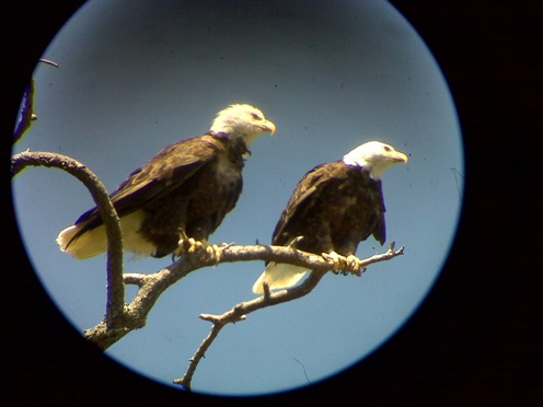 Hornby Island Eagles