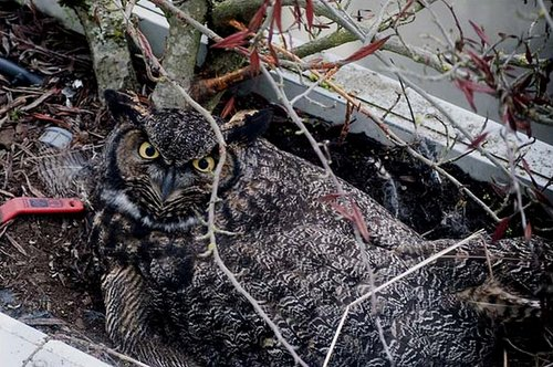 Mum Great Horned Owl in the planter, incubating