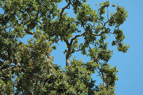 jul27dsc_0977.jpg Detail of the nest tree from ground level