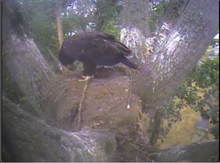 Delta eaglet gets an early morning meal...Yeah!!!
