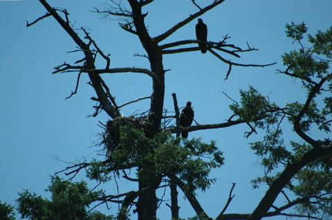 Eagle Nest with 2 Fledglings