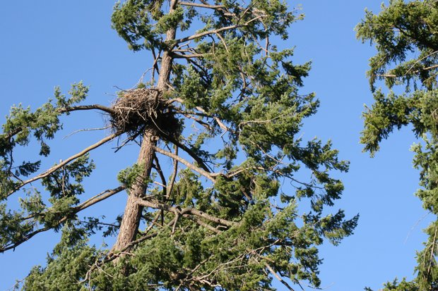 eagle's nest - Seabold Park in north Nanaimo