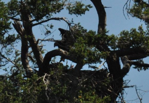 eaglet tries to join them & gets some airtime! - June 29, 2009, 1:13:22 PM