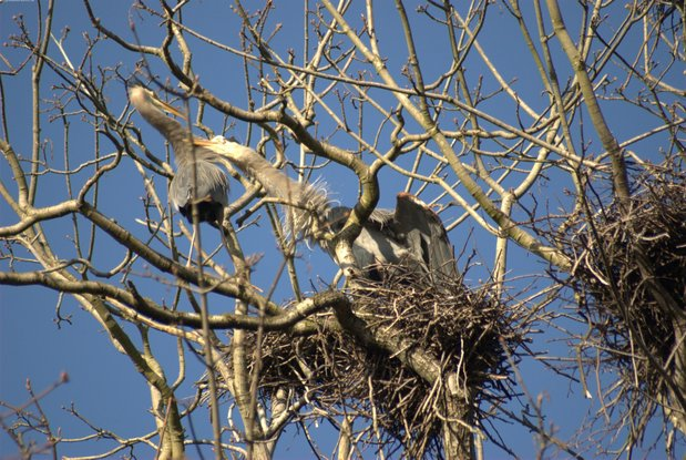 A trip to the Stanley Park Heron Rookery feb27dsc_2130.jpg