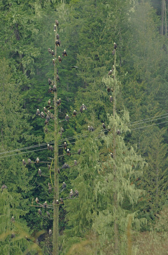 61 Bald Eagles in a Tree - or are there more?
