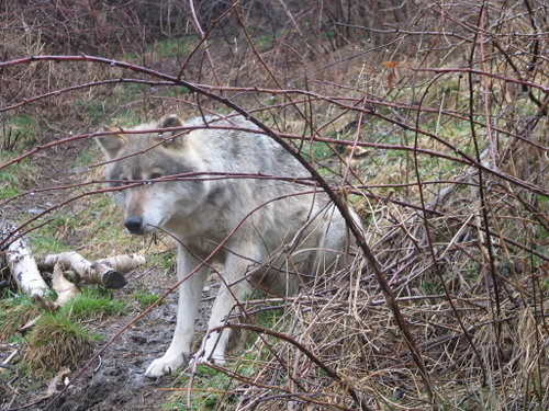 Crai, a captive wolf in Romania.