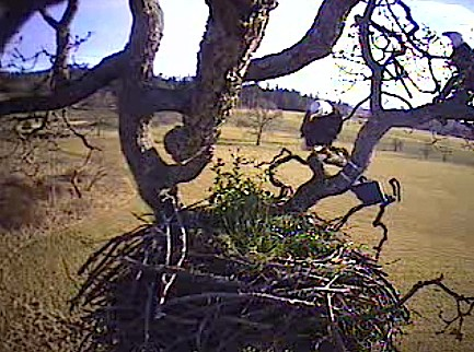 eagle moves closer to camera
