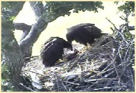 June 18:  FURRY PREY DOES NOT APPEAL TO EAGLETS