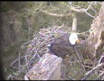 Hornby Eagle at nest