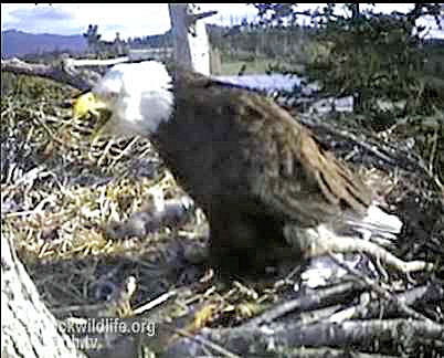 Sidney BC Bald Eagle Nest