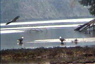 Dec.30,2006. Eagle swooping down the river.