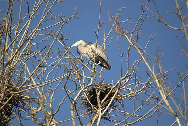 A trip to the Stanley Park Heron Rookery feb27dsc_2063.jpg