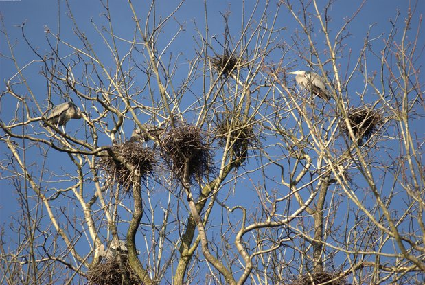 A trip to the Stanley Park Heron Rookery feb27dsc_2073.jpg