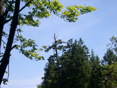 Eagle nest with adult perching