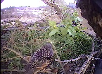 9:00am  Starling on the nest  dec. 31