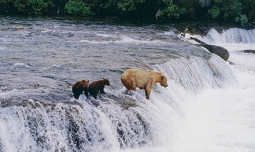 14 - Bears on Waterfall
