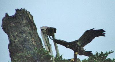 The first eaglet is seen today