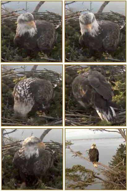 collage of s'caps of a 5 year eagle visiting White Rock
