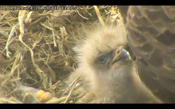 newly hatched eaglet at Delta 2, courtesy of Phil