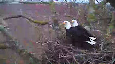 Both Adults at Delta 2 Nest