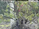 Three Lafarge eaglets branching 2012