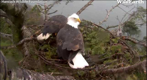 White Rock eagles working on their nest