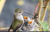 Fluff the Hummingbird with her hungry chicks in Victoria, BC