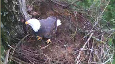 adult at Harrison Mills Cam nest