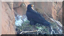 African Black Eagle chick with Mom