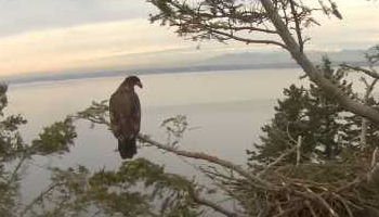 young eagle at White Rock