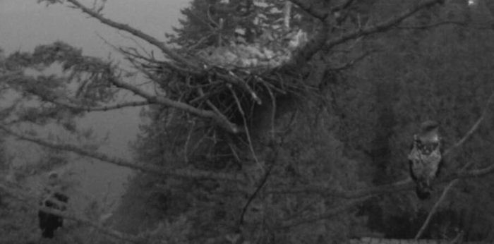two young eagles spend the night perched near the White Rock nest