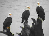 three eagles as seen from the Chehalis Tower