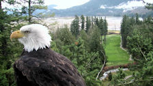 closeup of eagle in front of view of river valley and golf course