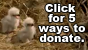 Picture of eaglets with link to donate