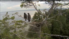 White Rock eaglets on wide-angle cam
