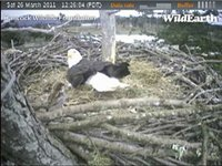 There are some LBJs (little brown jobs) that usually nest under the Sidney Eagles nest.  Today they were stealing nesting material right out from under Dad's beak and he wasn't too happy about it LOL!