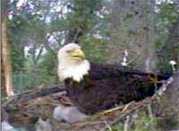 Here's how the eaglets started their day today LOL.  Captured beginning at about 5:30 a.m. on May 17, 2008.