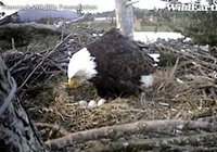 Mom gives the eggs a good roll.  See any pips yet?  Captured at 3:22 p.m. on April 12, 2011.