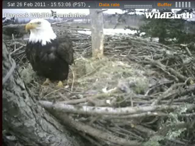 Note that the feathers under the feathers of her white head are dark and the feathers under her dark body are white!  Recorded from the Sidney EagleCam on February 26, 2011.