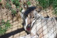 One of two wolves rescued from a fur farm in Romania and kept for educational, public awareness, and research purposes by the Carpathian Large Carnivore Project.