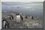 jAntarctic Gentoo Penguins