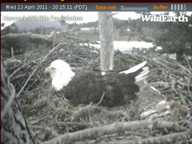 At about the 30 second mark, listen for the tell-tale chirping sound of the eaglet that's pipped the shell but still likely inside the egg.