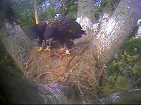 The eaglets share a meal.  Captured from the replay of July 19, 2008.