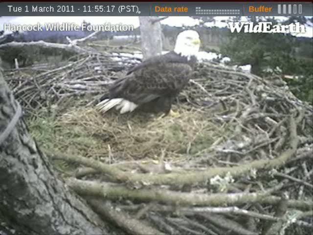 Dad is on the nest listening to eagle calls nearby to the nest.  Is this a juvenile calling?