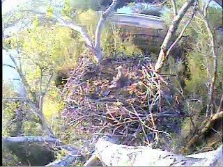 Her 'lets are starting to wander around the nest so Libby brings home a huge stick to put on the edge of the nest.