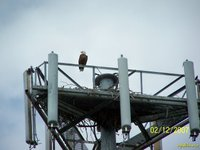 Zoomed in picture of Bald Eagle looking west from its roost on rail above nest. South view.