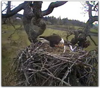 Is that a new chick under the point of Dad's beak?