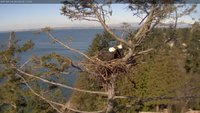 Our two White Rock eagles in their nest taken from the wide angle camera at 1280x720 resolution - much higher than the stream. The background shows Boundary Bay and South Delta where we have two other eagle nest cameras at O.W.L. and on 56th Avenue.