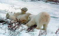A couple of polar bears playing.