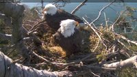 Our two White Rock eagles in their nest taken from the closeup camera at 1280x720 resolution - much higher than the stream.